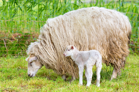 White long haired sheep with newborn lamb in meadow Stock Photo