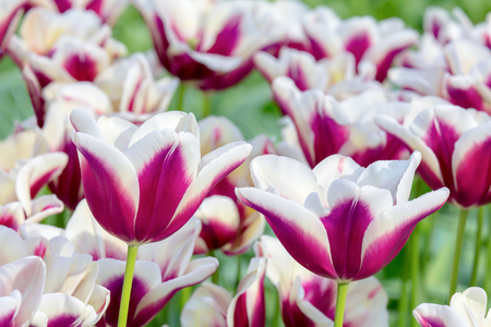Purple with white flowers in tulips field Stock Photo