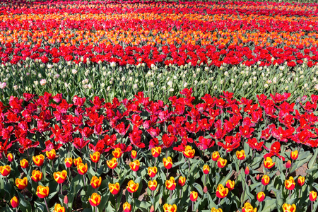 Tulip field with rows of red tulips in Keukenhof Holland