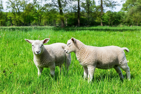 Two white european sheep in green spring meadow