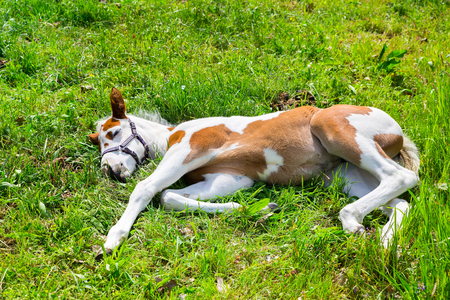 Newborn white brown foal lying sleeping in green grass Stock Photo - 102634547