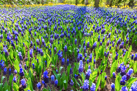 Flowerbed with beautiful blue grape hyacinths in spring Stock Photo