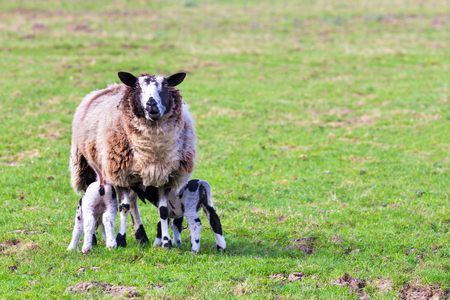 Mother sheep with two drinking newborn lambs in meadow