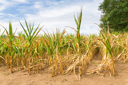Agricultural damage drought in corn plants that dry out in the sun