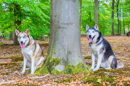 Two huskies sitting together next to tree trunk Archivio Fotografico - 110451586