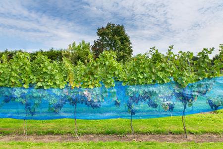 Row of blue grape plants with bird net in european vineyard