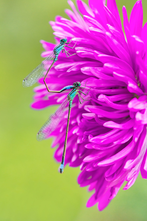Two mating blue damselflies sitting on pink aster flower