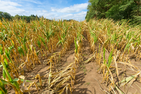 Damage in agriculture with dried corn plants in summer Stock Photo