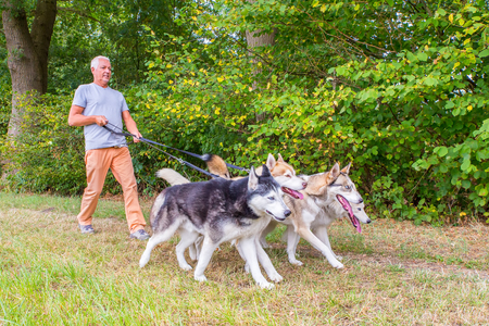Dutch man walking with four husky dogs in free nature Stock Photo