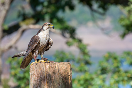 Tame peregrine falcon sitting on a pole in nature