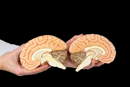 Hands holding human brain hemispheres models on black background