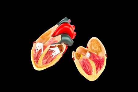 Inside of human heart model on black background