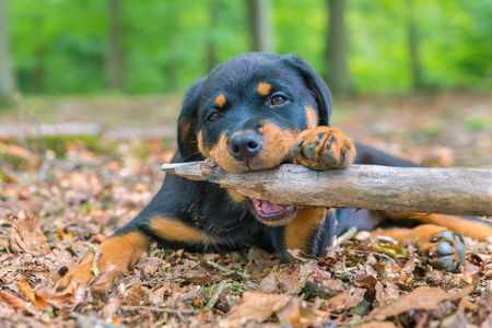 Portrait of young rottweiler dog biting branch in forest