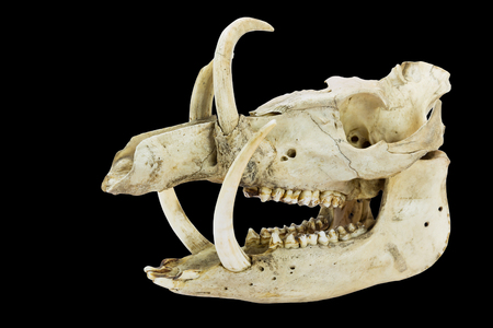 Skull with long tusks and teeth of wild boar isolated on black background