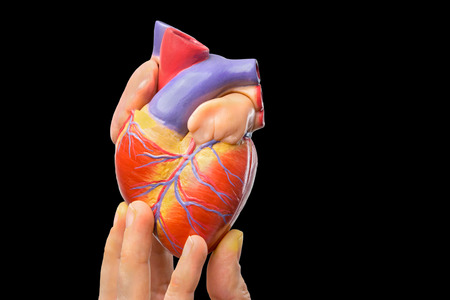 Fingers showing model of human heart isolated on black background