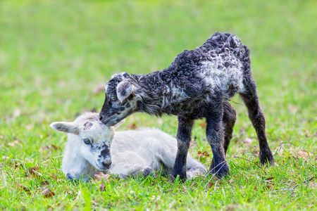 Two newborn black and white lambs together in green pasture during spring season Imagens