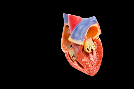 Inside artificial model of opened human heart isolated on black background