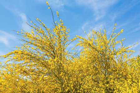 Flowering yellow broom Cytisus scoparius with blue sky in Europe Imagens