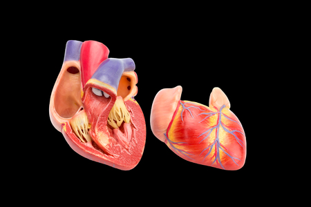 Open human heart model showing inside isolated on black background