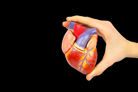Male hand holding plastic human heart model isolated on black background