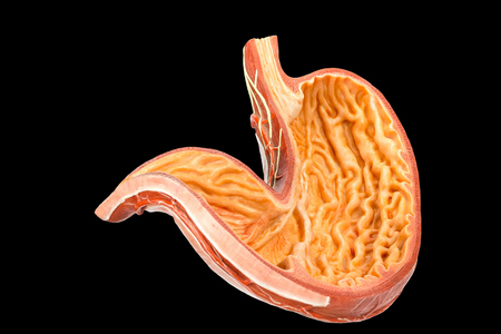 Inside of human stomach model isolated on black background