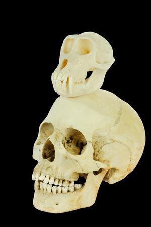 Monkey skull with human skull isolated on black background