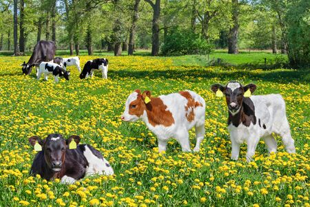 Group of newborn calves with cow in european pasture with dandelions Foto de archivo