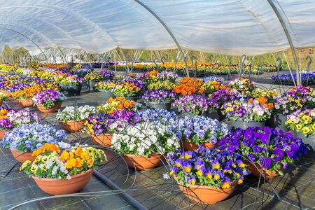 Plastic european  greenhouse with blooming pansies in hanging baskets Stock Photo
