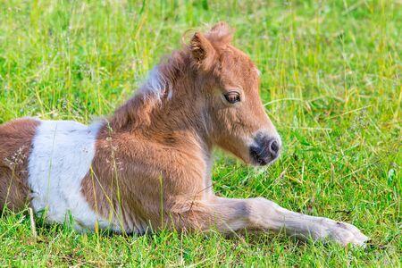 Close up portrait of lying young pony foal in dutch pasture Foto de archivo - 126988276