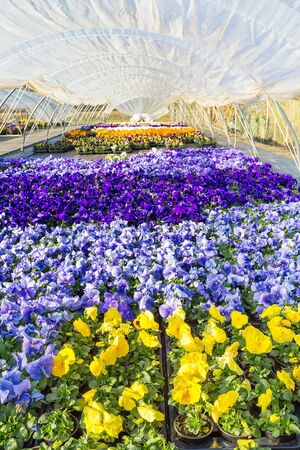 Plastic dutch  greenhouse colorful yellow, blue and purple flowering pansies Stock Photo