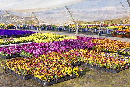 Plastic greenhouse in the Netherlands with colorful flowering pansies in trays Stock Photo