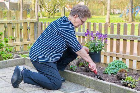 Europäische ältere Frau pflanzt lila Topfpflanze in Gartenerde Standard-Bild