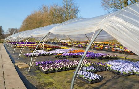 Open plastic european  greenhouse with   colorful flowering pansies
