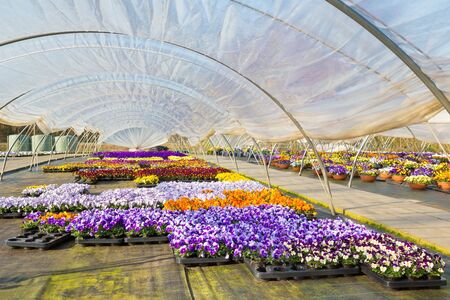 Plastic european  greenhouse with  path and colorful flourishing pansies