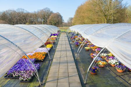 Two plastic european  greenhouses with straight path and colorful blooming pansies