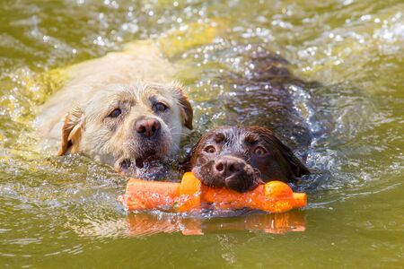 Two labrador dogs with orange rubber toy swim side by side in natural  water Фото со стока - 126988679