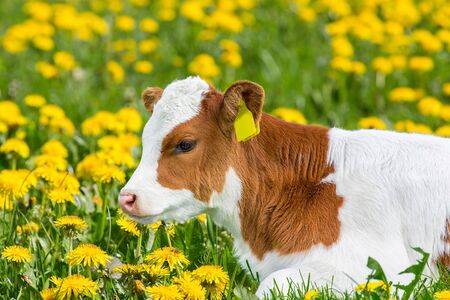 Portrait of red and white newborn calf lying in pasture with blooming yellow dandelions