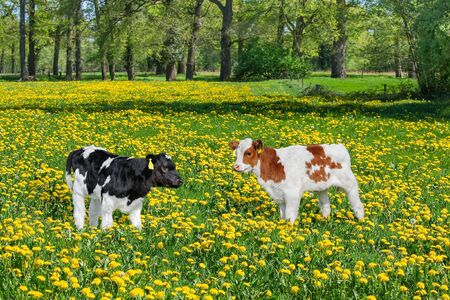 Two newborn calves standing in colorful pasture with blooming yellow dandelions Фото со стока - 126988682