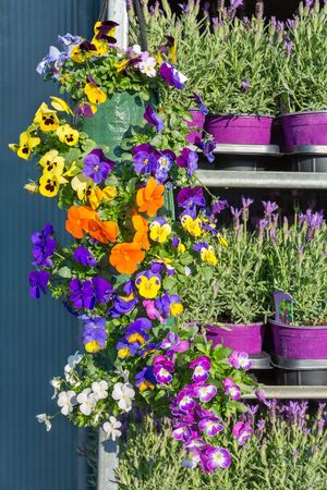 Metal rack filled with blooming violets in hanging baskets and lavender
