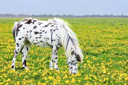 Spotted horse grazing in pasture with yellow dandelions Фото со стока