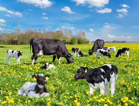 Cattle of black and white cows and calves in european pasture with yellow dandelions