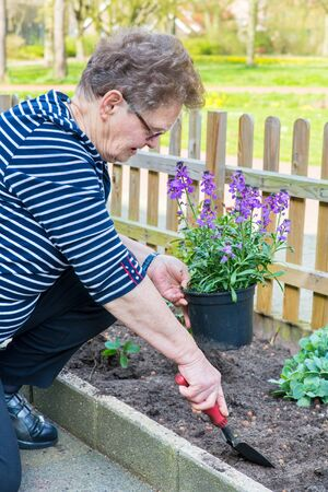 Caucasian elderly woman planting purple pot plant in garden soil Фото со стока