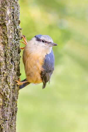 Juvenile nuthatch hangs vertical at oak tree trunk Фото со стока