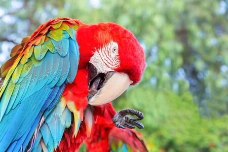 Red macaw or parrot with blue wing cleaning its feathers Фото со стока - 131026805