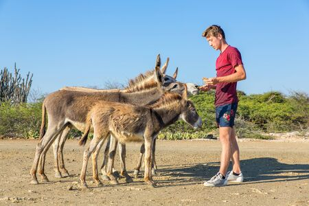Young caucasian man feeds group of wild donkeys on Bonaire Фото со стока - 131026811