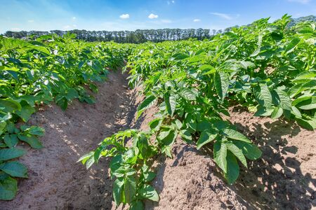 Dutch landscape with straight rows of green potato plants in summer Фото со стока