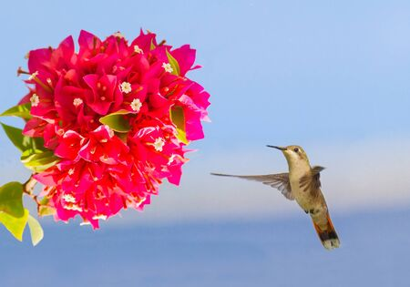Flying hummingbird hovering in mid air in front of red flower Фото со стока - 131026898