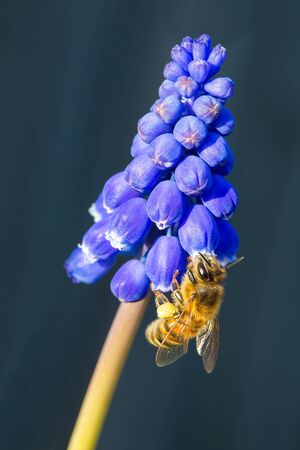 Bee insect eats nectar at blue grape hyacinths flower
