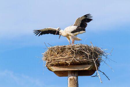 Two juvenile storks standing on nest Фото со стока