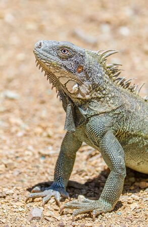 Close up green iguana head and front legs on gravel Stok Fotoğraf